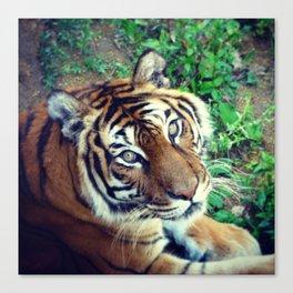 Tendre Tigre Canvas Print