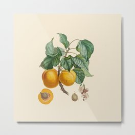Vintage Botanical Illustration - Abricot-Peche Antoine Poiteau Metal Print