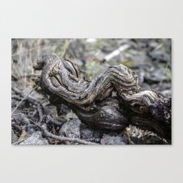 Abandoned vine stock Canvas Print