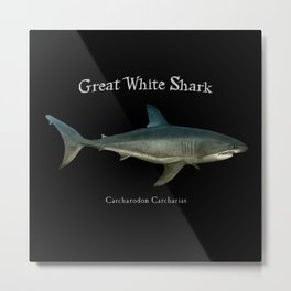 Great White Shark - Carcharodon Carcharias. Metal Print