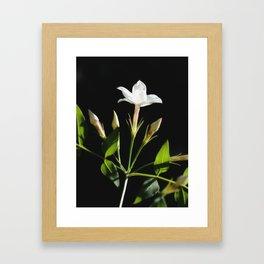 Close Up Of Jasminum Officinale Framed Art Print