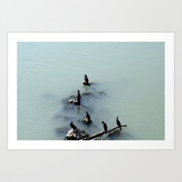 Cormorants Birds on the River Art Print