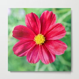 Cosmos Flower in the Garden Metal Print