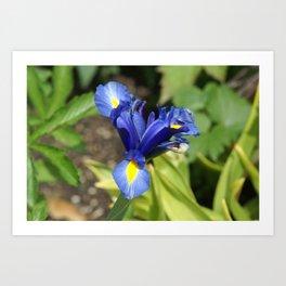 Blue Iris Flower - Blue, Yellow, Green Art Print