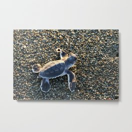 Green Turtle Hatchling Metal Print