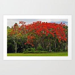 Royal Poinciana Tree Art Print