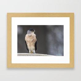 Red eyed Coopers Hawk Framed Art Print