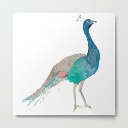 Indian Peacock Metal Print