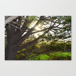 sunset through tree Canvas Print