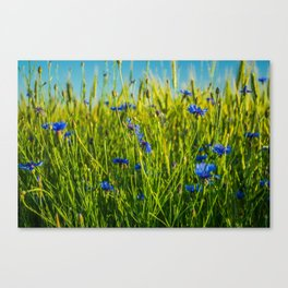 Cornflowers in the field from childhood Canvas Print