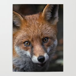 Wild Red Fox Looking At You Poster