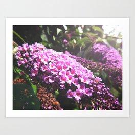 Pink Buddleia Art Print