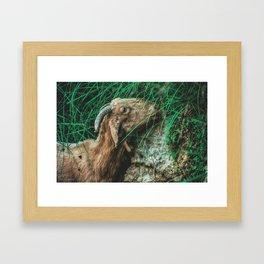 Iberic Goat eating some natural green Framed Art Print