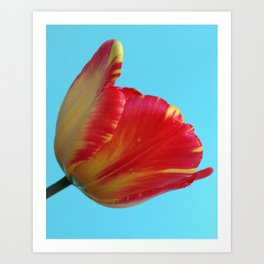 Profile of A Red and Yellow Tulip Art Print