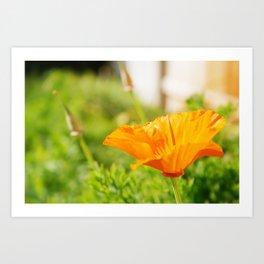 Poppy, Unfurled Art Print