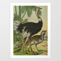 ostrich Art Prints featuring Ostrich  by Connie Goldman
