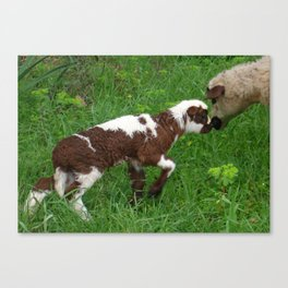 Cute Brown and White Lamb with Ewe  Canvas Print