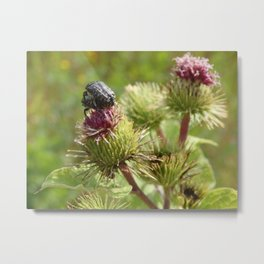 Love in the morming, Beetles on a thistle flower  Metal Print