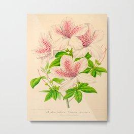 Azalea Vittato-Punctata Vintage Botanical Floral Pink Flower Scientific Illustration Metal Print