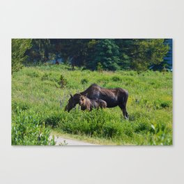 Moose and calf at Maligne Lake, Jasper National Park Canvas Print