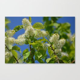 Mayday Tree in Bloom Canvas Print