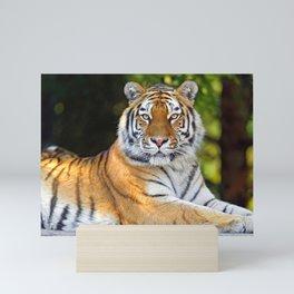 Impressively Noble Adult Tiger Looking At Camera Close Up Ultra HD Mini Art Print