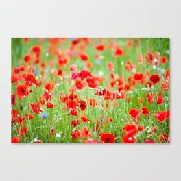 Blossoming field of Papaver Canvas Print