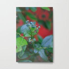 Pre-ripe Blueberries Metal Print