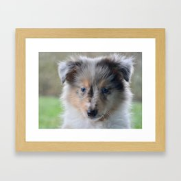 Blue-eyed Portrait of a Shetland Sheepdog Puppy Framed Art Print