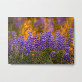 US Department of Agriculture - Lupine Metal Print