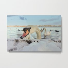 Close-Up Swan On A Snowy Day Metal Print