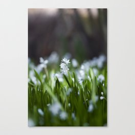 Squill Flowers Canvas Print