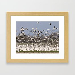 Snow Geese in the Skagit Valley of Washington State Framed Art Print