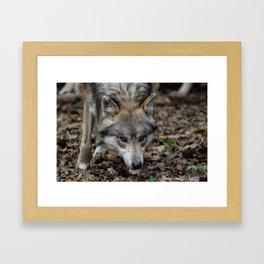 Mexican Gray Wolf Framed Art Print