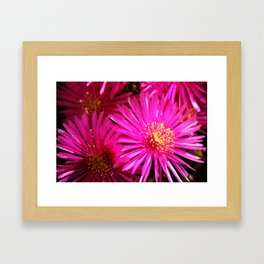 Ice Plant Pink Cactus Flowers Framed Art Print