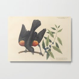 The Red-Winged Starling Vintage Bird Print by Mark Catesby, 18th Century Metal Print