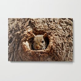 An Eastern Grey Squirrel Peeks out of a Hole - Photography Metal Print