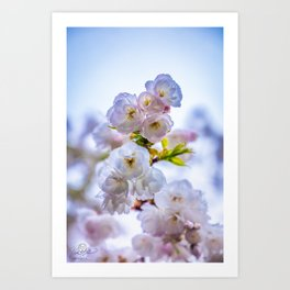 Cherry Blossom After the Rain Art Print