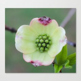 Spring Dogwood Blossom Tennesse Photography Canvas Print