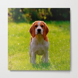 beagle puppy on guard Metal Print