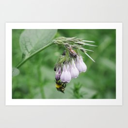 Bumble bee collecting nectar from a Common Comfrey flower. Norfolk, UK. Art Print