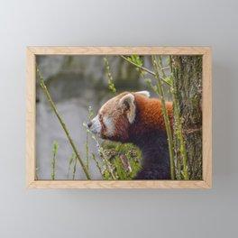Close Up Of A Red Panda Framed Mini Art Print