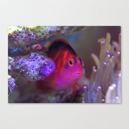 Drag queen fish Canvas Print