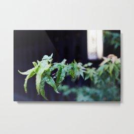 Japanese acer leafs. Metal Print