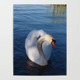 Swan Art. Curious White Swan Poster