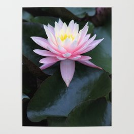 Pink Ombre Water Lily #1 Poster
