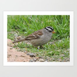 White Crowned Sparrow at Morro Rock Art Print