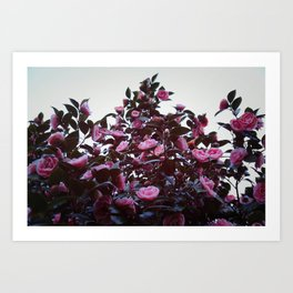 Bountiful Camelias Art Print