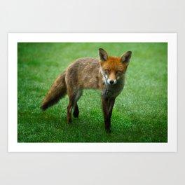 Wild Red Fox Art Print