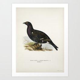 Hybrid between black grouse and western capercaillie (Lyrurus tetrix x Tetrao urogallus ) illustr Art Print
